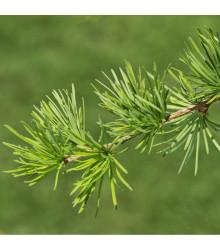 Modřín Gmelinův - Larix gmelinii - prodej semen - 10 ks