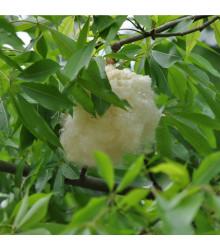 More about Vlnovec pětimužný - Ceiba pentandra - Kapok - semena Kapoku - 10 ks