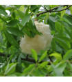 Vlnovec pětimužný- Ceiba pentandra- Kapok- semena Kapoku- 4 ks