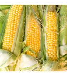 More about Kukuřice cukrová Golden Bantam - Zea Mays - osivo kukuřice - 16 ks