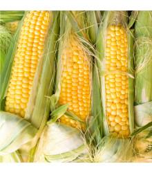 Kukuřice cukrová Golden Bantam - Zea Mays - semena Kukuřice - 16 ks