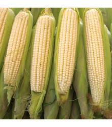 Kukuřice cukrová Tasty Sweet F1 - Zea Mays - osivo kukuřice - 16 ks