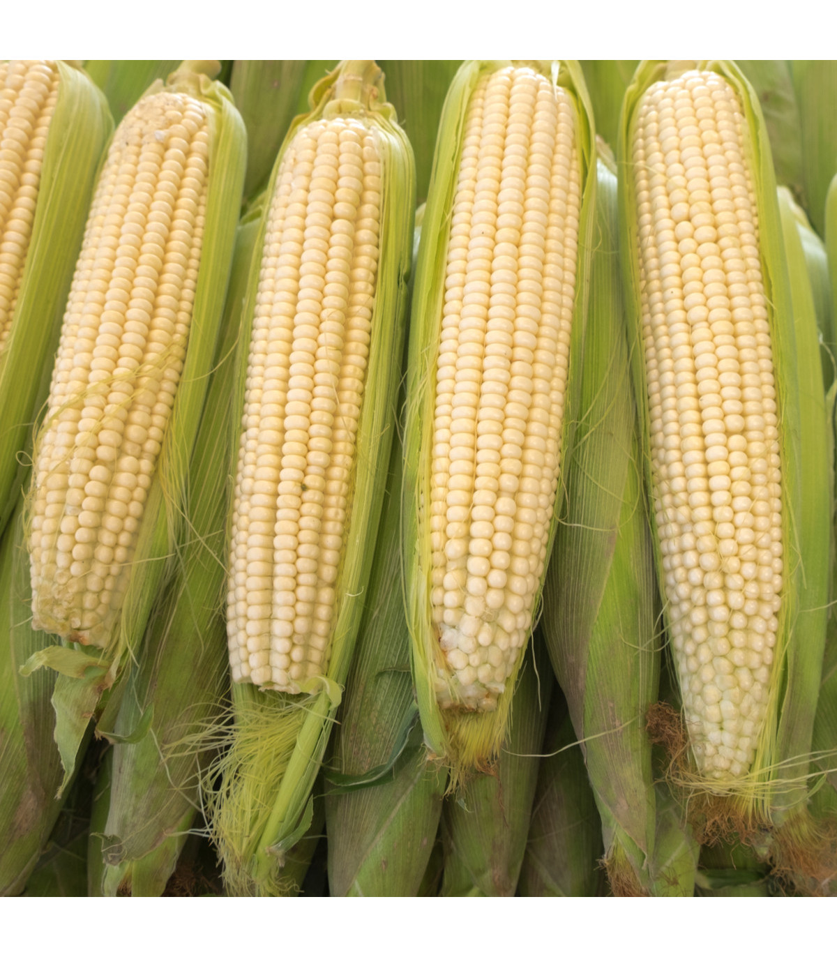 Kukuřice cukrová Tasty Sweet F1 - Zea Mays - semena Kukuřice - 16 ks