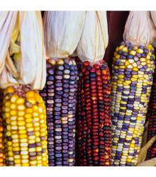 Kukuřice Amero okrasná - Zea mays - osivo kukuřice - 15 ks