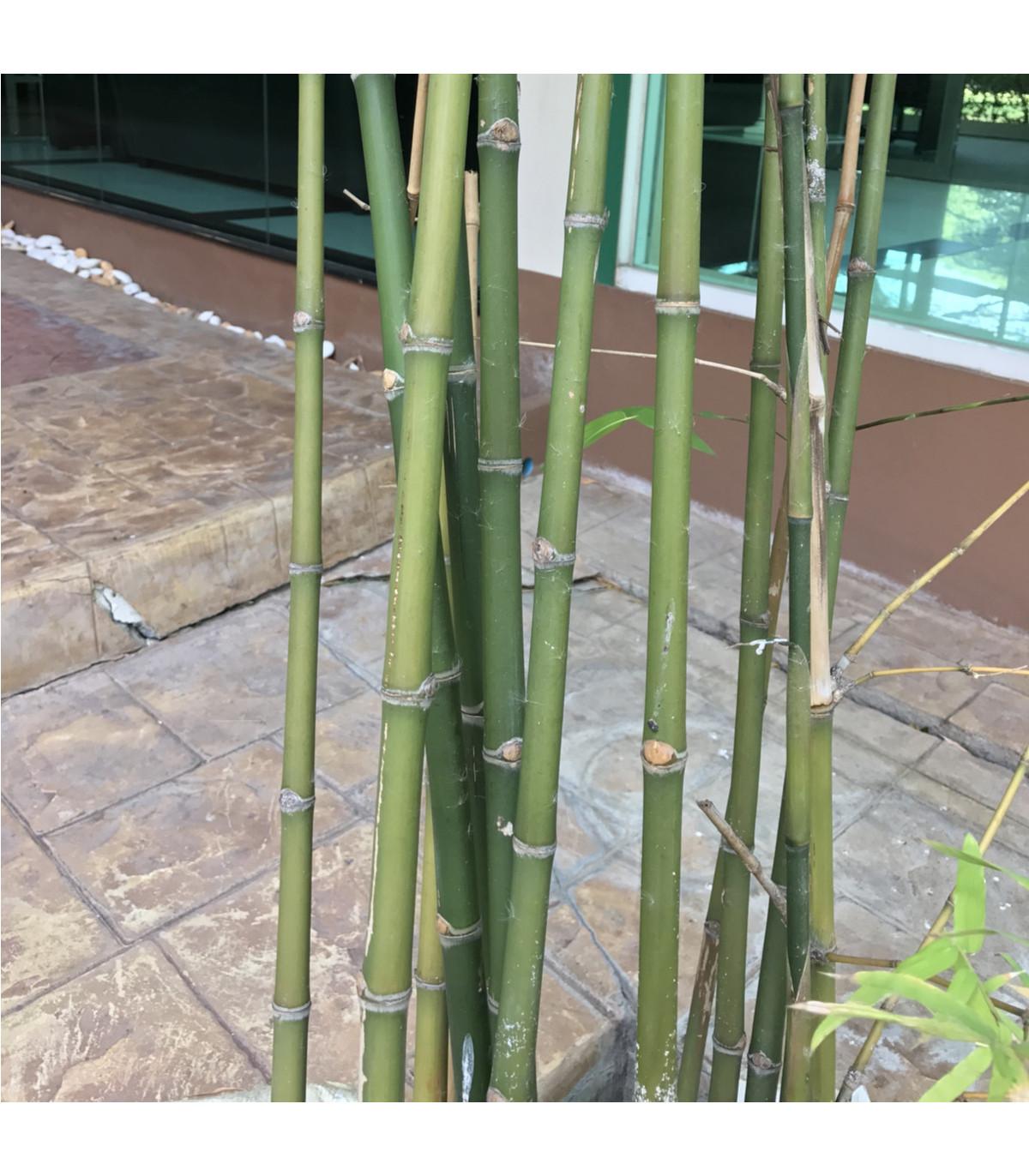 Bambus obrovský - Bambusa Arundinacea - osivo bambusu - 2 ks