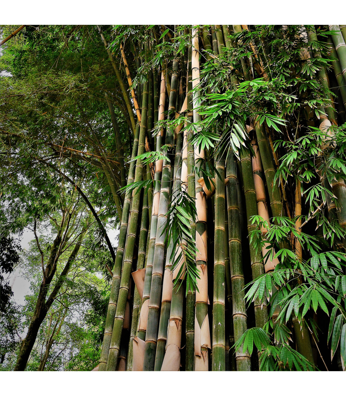 Bambus nejvyšší - Dendrocalamus giganteus - semena Bambusu - 2 ks