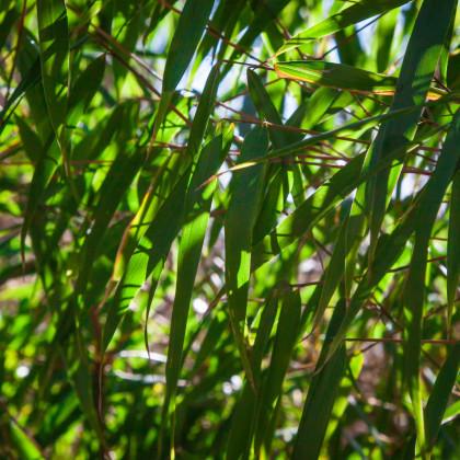 Fargesia - Bambus horský - Rákosovec - Fargesia fungosa - semena - 3 ks