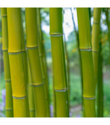 Král bambusů - Phyllostachys pubescens - semena bambusu koupit - 3 ks