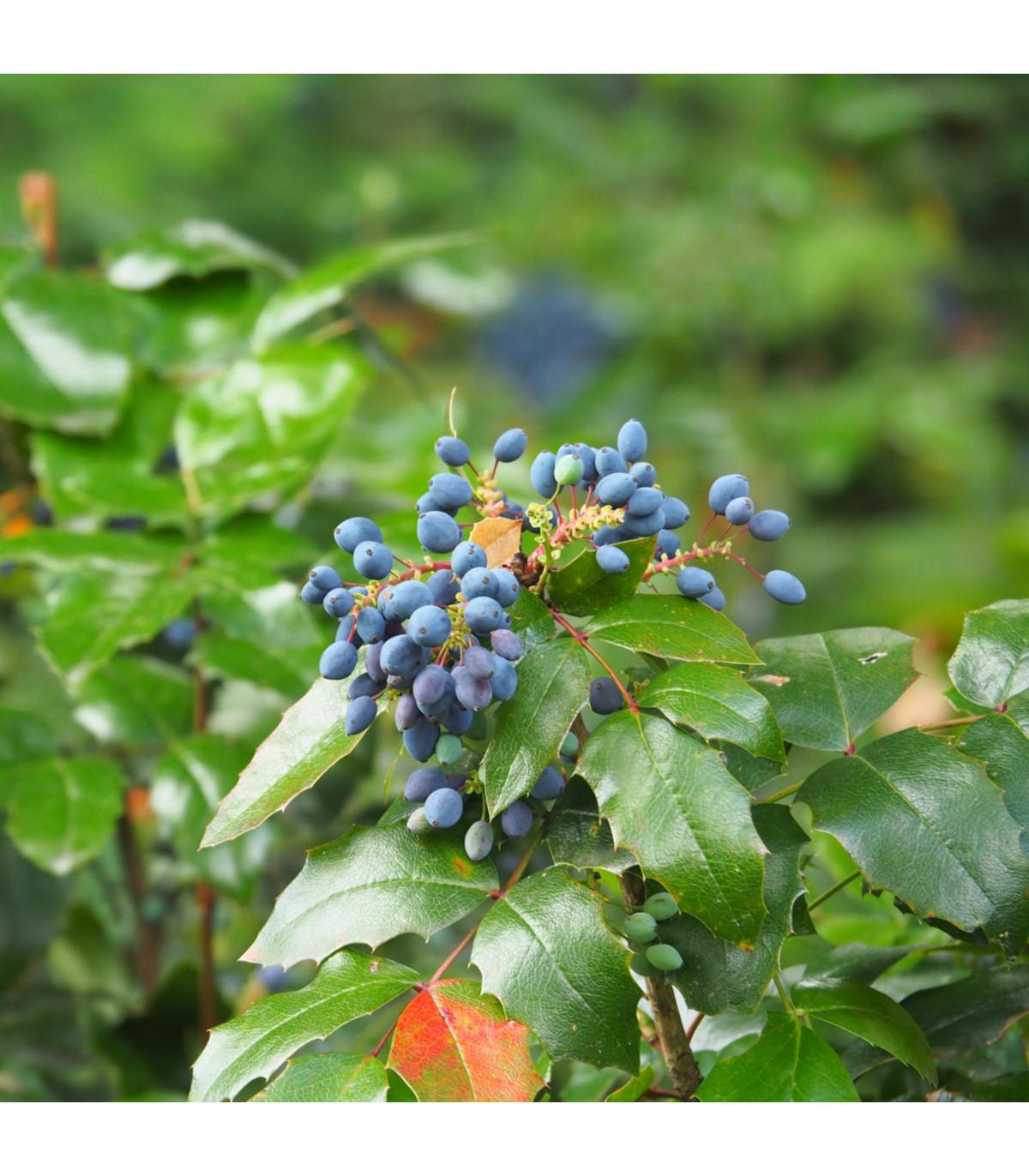 Mahónie cesmínolistá - Mahonia aquifolium - prodej semen - 5 ks