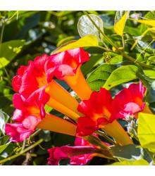 Trubač kořeňující - rostlina Campsis radicans - prodej semen - 10 ks