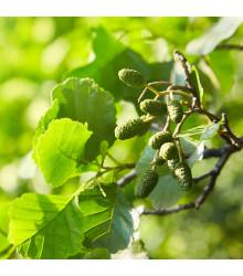 Olše lepkavá - rostlina Alnus glutinosa - prodej semen stromů - 8 ks