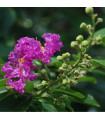 Lagerstroemie nádherná- Lagerstroemia floribunda - prodej semen - 7 ks