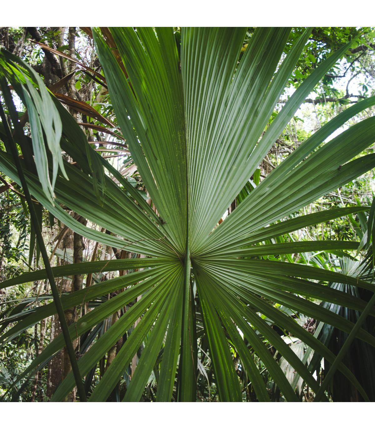 Palma- Carludovica Palmata-semena- 3 ks