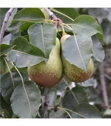 Hrušeň obecná - Pyrus communis - prodej semínek - 4 ks