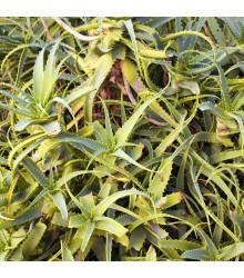 Agáve- Agave bracteosa- semena Agáve- 10 ks