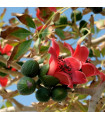 Bombax ceiba - prodej semen rostlin - 6 Ks