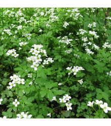 Potočnice lékařská - léčivá rostlina Nasturtium officinale - prodej semen potočnice - 0,5 g