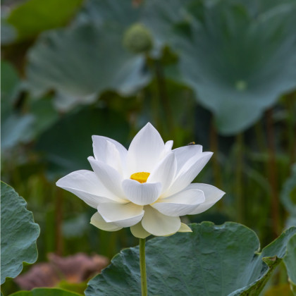 Lotos indický - Nelumbo nucifera - semena lotosu - 2 ks