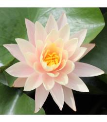 Leknín růžový - Nymphaea capensis - semena Leknínu - 6 ks