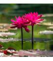 Leknín červený - Nymphaea caerulea - semena leknínu - 5 ks