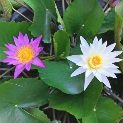 Leknín směs barev - Nymphaea caerulea - semena leknínu - 5ks