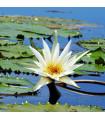 Leknín bílý - Nymphaea ampla - semena Leknínu - 6 ks