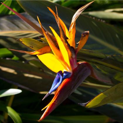 Strlície královská - rostlina Strelitzia reginae - prodej semen - 2 ks