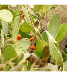 Opuncie - Indiánské fíky - Opuntia compressa - osivo opuncie - 7 ks
