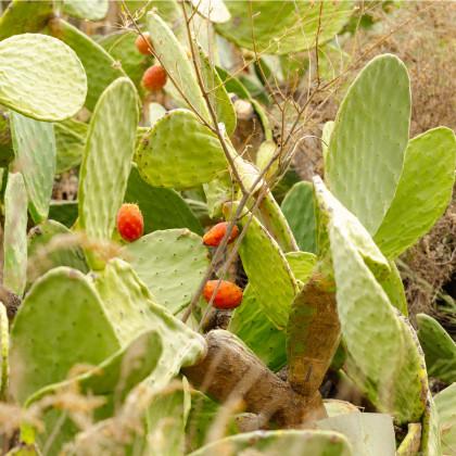 Opuncie - Indiánské fíky - Opuntia compressa  - semena - 7 ks