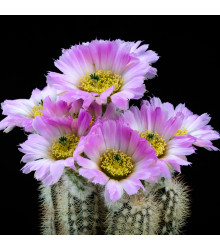Echinocereus reichenbachii - osivo kaktusů - 8 ks