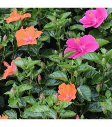 Ibišek syrský směs barev - Hibiscus syriacus - prodej semen ibišku - 12 ks