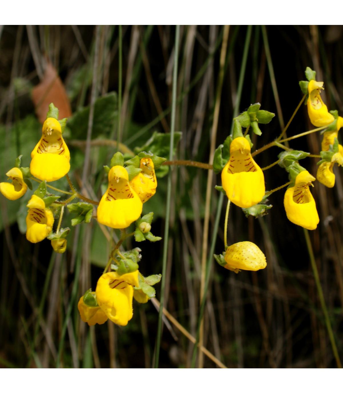 Pantoflíček celolistý - Calceolaria Andina - osivo pantoflíčku - 5 ks