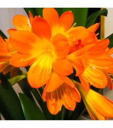Klívie - Řemenatka - Clivia robusta - prodej semen - 3 ks