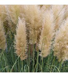 Pampas stříbrný bílý - Pampová tráva - Cortaderia selleona - osivo pampasu - 10 ks