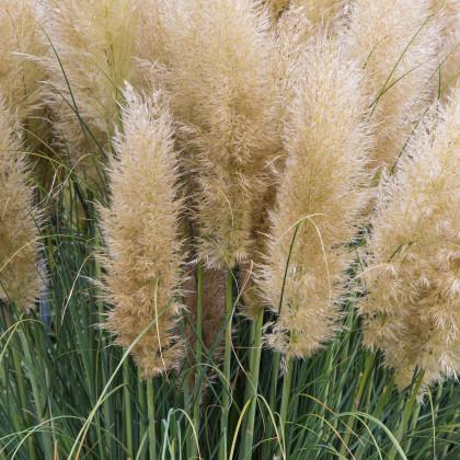 Pampas stříbrný- semena Pampasu- 10 ks