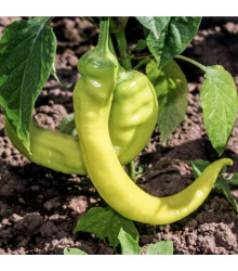 Paprika Sladký banán - Capsicum annuum - osivo papriky - 9 ks