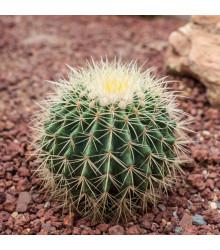 Echinokaktus Grusonův - Zlatá koule - Echinocactus grusonii - osivo kaktusu - 8 ks