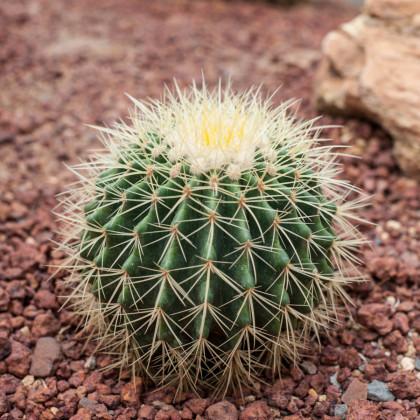 Echinokaktus Grunovův - Zlatá koule - Echinocactus grusonii - semena - 8 ks