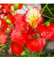Ohňový strom - Delonix královská - Delonix - semena - 6 ks