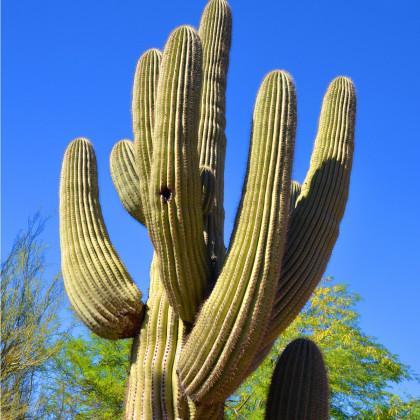 Saguaro - kaktus svícnovitý - Carnegiea gigantea - prodej semen - 5 ks