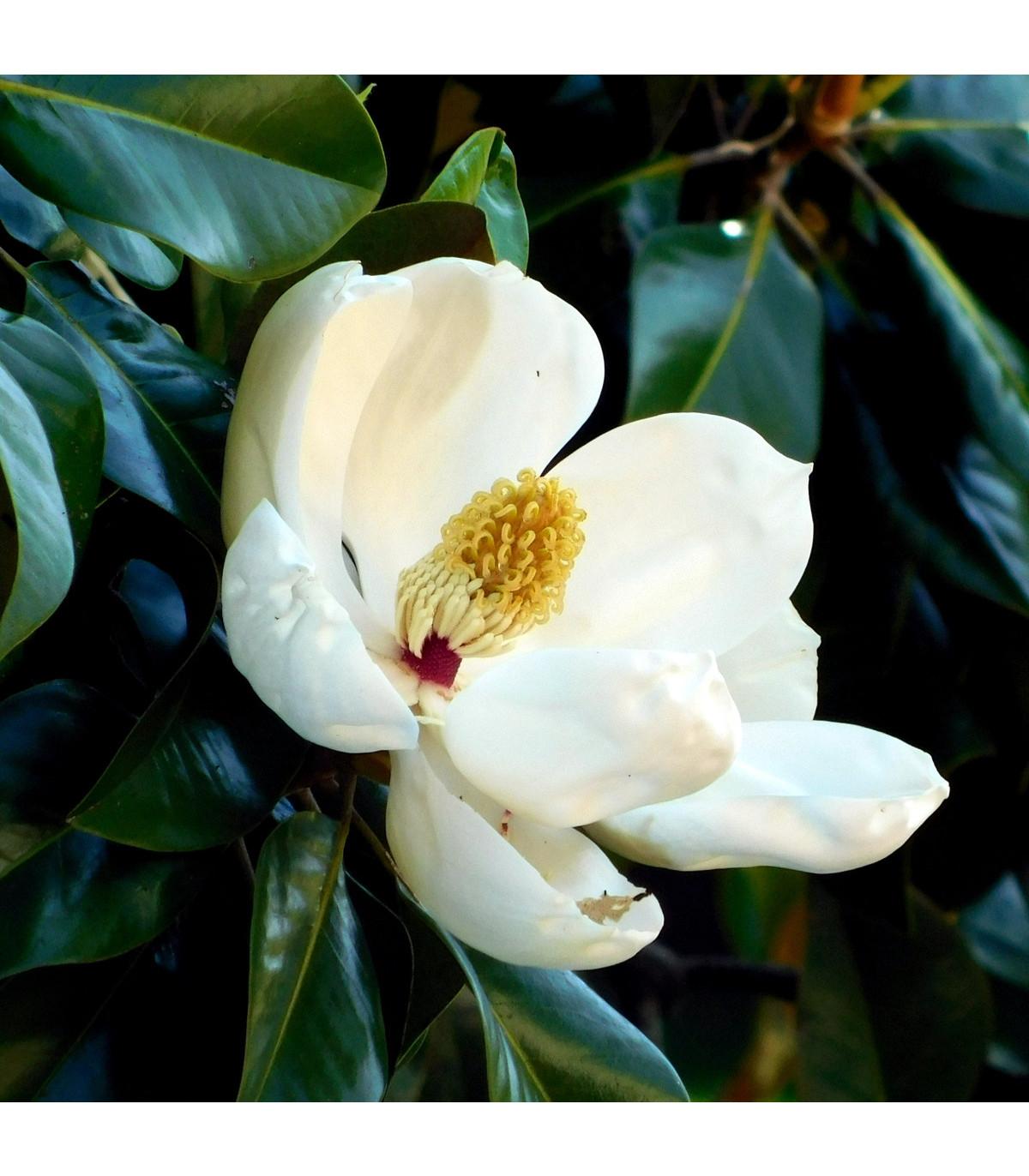 Magnólie velkokvětá - Magnolia grandiflora - prodej semen - 5 ks