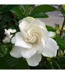 Gardénie - Gardenia jasminoides - semena - 6 ks