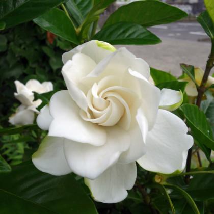Gardénie- Gardenia jasminoides- semena- 6 ks