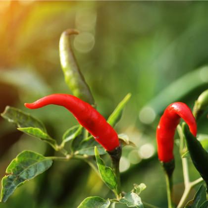 Chilli Thai Hot - extra pálivé - semena Chilli papriček - 6 ks