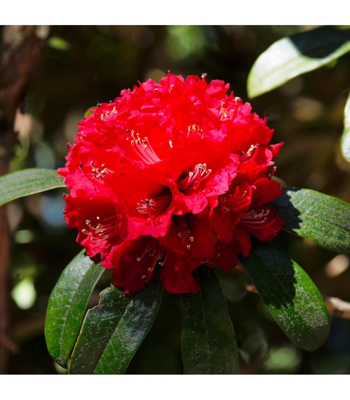 Rododendron - Pěnišník - Rhododendron arboreum - prodej semen - 50 ks