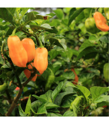 Chilli Habanero oranžové - Capsicum chinense - osivo chilli - 6 ks