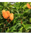 Chilli Habanero - oranžové - prodej chilli semínek - 6 ks