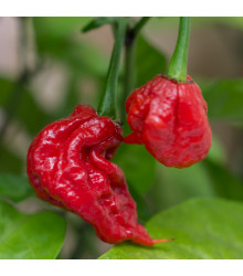 Chilli Carolina Reaper - Capsicum chinense - osivo chilli - 5 ks