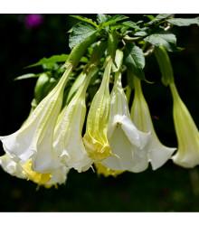 Andělská trubka bílá - Grugmansia suaveolens - prodej semen