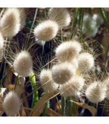 Zaječí ocásek - Lagurus ovatus - prodej semen - 20 Ks
